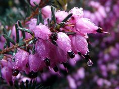 Heather flower pictures and meanings. Find out about purple and white heather flowers and see pictures of each. We have over flower pictures at flowerinfo