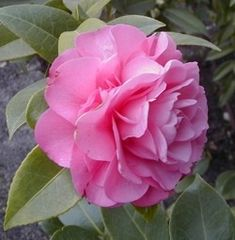 Flowering shrubs that thrive in Shade.