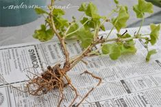 Experimenting to see if geraniums can be kept in a dormant state through the winter.