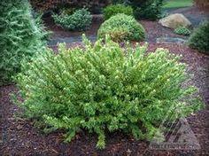 brevifolia dwarf yew - Bing Images