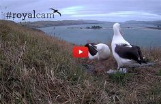 Watch Royal Albatross raise their chick on live feed