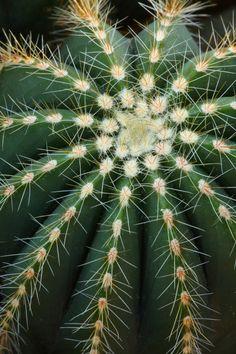 Cactus by Jeremy Jonkman Cacti And Succulents, Planting Succulents, Planting Flowers, Cactus Art, Cactus Flower, Photowall Ideas, Theme Nature, Cactus Photography, Cactus Plante