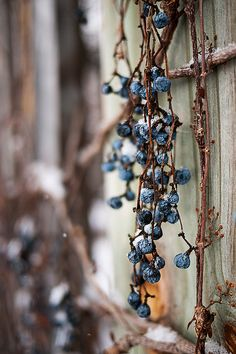 Snow vines on a fence by Graham Gibson