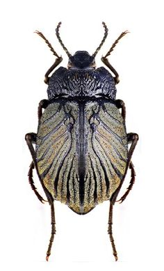Gyriosomus luczoti ~ really don& like pinning them when they are dead, but this one has some awesome color and texture. It could be inspiration for jewelry. Beetle Insect, Beetle Bug, Insect Art, Cool Insects, Bugs And Insects, Foto Macro, Especie Animal, Cool Bugs, A Bug's Life