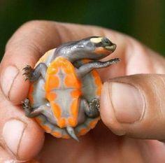 little orange turtle