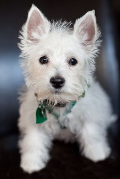 Westie Pup.. She was such a cute little puppy w/ those big ears...  She had to grow in to them... :-)
