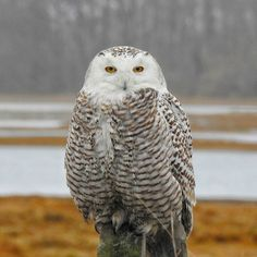 Snowy Owl Snowy Owl, River, Bird, Pictures, Animals, Photos, Animales, Animaux, Photo Illustration