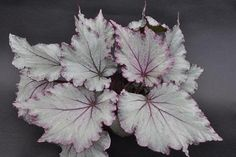 Begonia 'Pink Diamond'