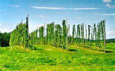 Hops bines growing up trellises Hops Trellis, Vertical Farming, Trellis Design, Home Brewing, Conservatory, Hedges, Maine, Golf Courses, Planting
