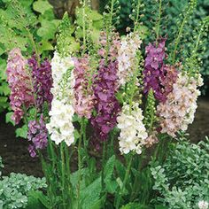 Verbascum phoenicum Collection      The 60cm long flower spikes emerge from large oval leaves which remain very close to the ground. The collection of six is two each of of Dark Purple, Rosetta and Flush of White.