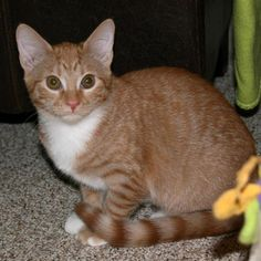 Meet KITTEN **NEW** Bianca, a Petfinder adoptable Tabby - Orange Cat | Bartlett, TN | Meet shy Bianca. This little beauty is ready for a home who will continue to show her love and help...