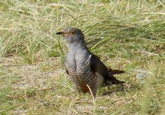 Cuculus canorus Common cuckoo Birds, Animals, Animales, Animaux, Bird, Animal, Animais