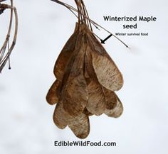 """When we were children one of the fond memories many of us share was playing with the maple tree """"helicopters"""". No matter what you remember them as, they are actually called samaras.Maple tree seeds are edible, contain protein, and can be used as survival food in winter months, however like many wild edibles the best flavours are enjoyed in spring."""