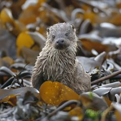 European River Otter (Lutra Lutra) Cub Amongst Kelp on Shoreline, Shetland Isles, Scotland, UK Photographic Print by Chris Gomersall at AllPosters.com