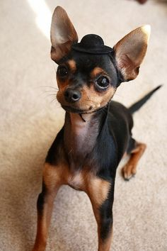 Hello? I haf my widdle hat on, & I'm ready to go to school, & learn! Woof! _ Animals Wearing Tiny Hats (Chihuahua Here)