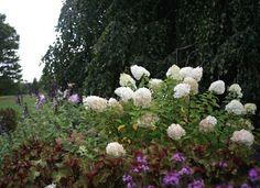 A master class in pruning hydrangeas from white flower farm white prune hydrangesas bobo hydrangea from white flower farm gardenista mightylinksfo Gallery