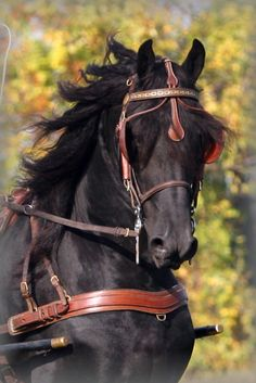 majestic black Friesian horse dressage show performace Andalusian Big Horses, Black Horses, Horse Love, Most Beautiful Horses, All The Pretty Horses, Animals Beautiful, Friesian Horse, Andalusian Horse, Arabian Horses