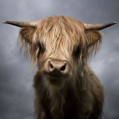 Vaca's Scottish cousin wants to remind you all to keep moo-ving! Scottish Highland Cow, Highland Cattle, Amazing Animals, Animals Beautiful, Beautiful Images, Beautiful Artwork, Beautiful Creatures, Farm Animals, Cute Animals