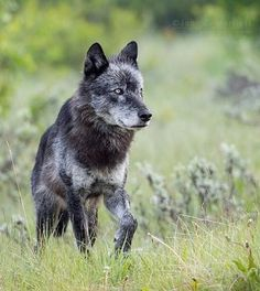 beautiful-wildlife:  Black Wolf by johnemarriott   from  The REZs EDGE - Destruction & Redemption by author/writer Brad Jensen  FULL CHAPTERs PRE-RELEASED (Read 4 Free - click link here) http://bradjensen.wix.com/authorbradjensen  Please REBLOG/SHARE if you dig it Thanks Folks!  Watch for the Book release date here: http://authorbradjensen.tumblr.com/ or here: http://www.facebook.com/bradjensenauthor/ or here: http://bradjensen.wix.com/authorbradjensen  FOLLOW ME for killer pictures excerpts…