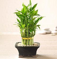 Como cultivar bambu da sorte. Apesar de ser chamado bambu, na verdade esta…