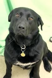 Rex is an adoptable Black Labrador Retriever Dog in Anchorage, AK. PLEASE READ FULL DESCRIPTION BEFORE EMAILING OR CALLING WITH QUESTIONS ABOUT THIS PET!!! Now THIS is a GREAT dog!! Playful and outgoing with a great retrieve drive.  Would do best as an only dog but may do ok with a...
