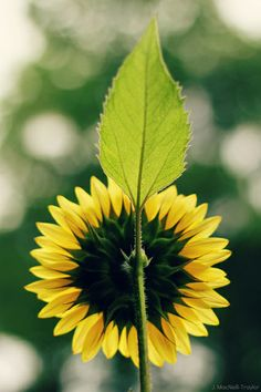 sunflower symmetry | Flickr - Photo Sharing!
