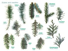 Rogers Trees and Shrubs - fabulously useful site for identifying trees and shrubs.  See the leaf index.