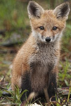 red fox animal | My favorite young Red Fox