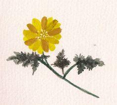 FLOWER FLOWER: 복수초(Amur Adonis, Adonis amurensis)