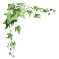 Ivy Vine Drawing