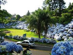 The Imperial City of Petropolis, Hydrangea capital of Brazil.  The blue hydrangea was the favorite flower of Princess Isabel, who signed the final edict declaring the abolition of slavery in Brazil.