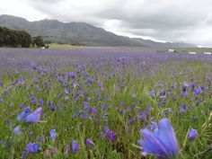 South Africa's West Coast Spring Flowers Spring Flowers, Wild Flowers, Table Mountain, West Coast, South Africa, Flora, World, Nature, Plants