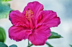 Gardening Is Fun. There are tons of elements that you have to focus on with regards to gardening, so you ought to educate yourself with some helpful gardening tips. It's not easy to garden by yourself, particularly if you happen to be inexperienced. Hibiscus Bush, Growing Hibiscus, Hibiscus Garden, Hibiscus Leaves, Hibiscus Plant, White Hibiscus, Exotic Flowers, Diy Flowers, Purple Flowers