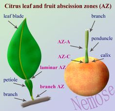 Citrus fruit and leaf absission zones