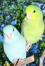 Green Rump Parrotlets are slightly smaller than Pacifics and are usually colored bright apple green. They are generally more shy and reserve...