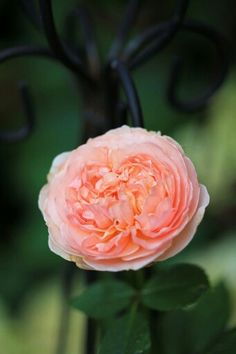 'Evelyn'- David Austin short climbing rose, silky soft apricot, tinged with pink. Size: 6′h x 3′w. Zone: