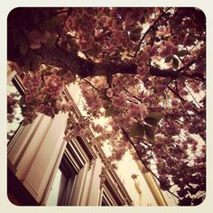 Feast of April cherry blossoms in Bonn. #Germany