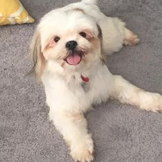 Lenny the Shih Tzu mix rescued from Puerto Rico! http://ift.tt/2hRWI1s