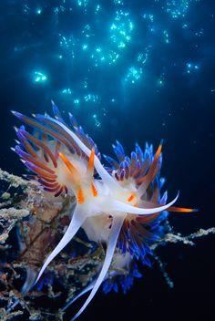 Underwater Photographer Juan Jose Sotano Garcia's Gallery: Nudibranquios: Encuentro en el Azul¡¡¡ - DivePhotoGuide.com
