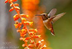 by Lou Cifelli on Bee Hummingbird, Hummer, Birdhouses, Hummingbirds, Butterflies, Pretty, Animals, Animals And Pets, Animales