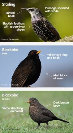 Starlings and blackbirds are two lovable garden birds that can be confused. This handy guide should help you tell the difference. Bird Facts, Backyard Birds, Garden Birds, Bird Types, Brown Bodies, Brown Bird, Viewing Wildlife, All Birds, Bird Pictures