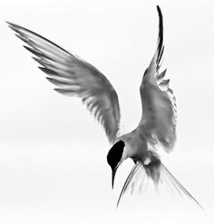 wow! thinking of this tern for my tattoo