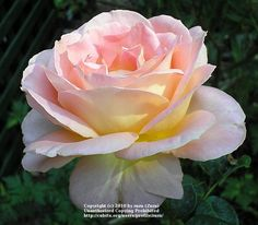 Hybrid Tea rose (Elle)