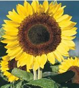 Virtual Seeds - traditional & exotic flowers, vegetables, specialty plants, & more