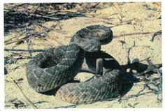 Poisonous Snakes of the Americas:#11-Weastern diamondback rattlesnake: Light buff color,dark brown diamond-shaped markings.Tail has heavy black & white bands. When coiled & rattling, it's ready to strike.Injects large amount of venom which is hemotoxic,causing severe pain & tissue damage.Found in grasslands,deserts,woodlands canyons. Length 1.5-2 meters. Southeast California,Oklahoma,Texas,New Mexico,Arizona.