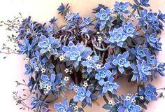 "Graptopetalum paraguayense - Lavender blue ""ghost plant"""