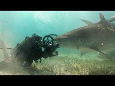 ▶ Jonathan Bird's Blue World: Tiger Sharks - YouTube
