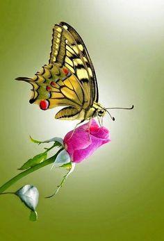 Amazing butterfly on a rosebud. Butterfly Kisses, Butterfly Flowers, Butterfly Wings, Beautiful Bugs, Beautiful Butterflies, Beautiful Creatures, Animals Beautiful, Art Papillon, Flying Flowers