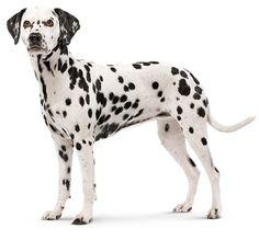 Dalmatian #dog | Royal Canin