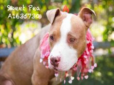 10/14/16 SWEET PEA - URGENT - located at CITY OF LOS ANGELES SOUTH LA ANIMAL SHELTER in Los Angeles, CA - Young Female Pit Bull Terrier